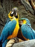 i have 2 lovely macaw parrots for a nice home